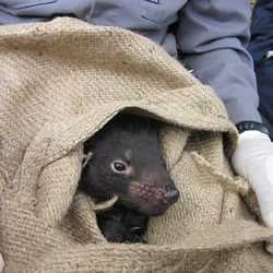 Tasmanian Devil Facial Tumor Disease