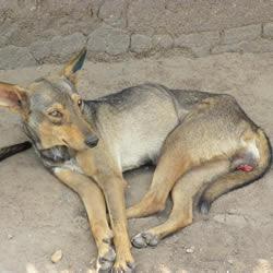 Canine Transmissible Venereal Disease