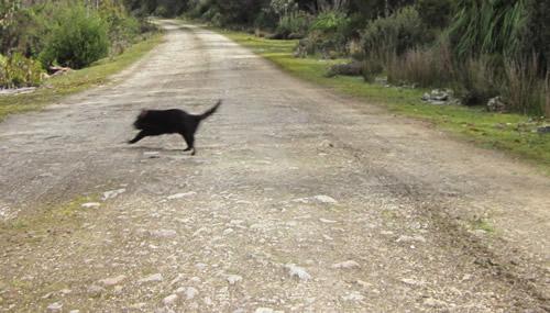 A rare sighting of a wild Tasmanian devil