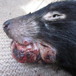 Tasmanian devil facial tumour disease (DFTD)